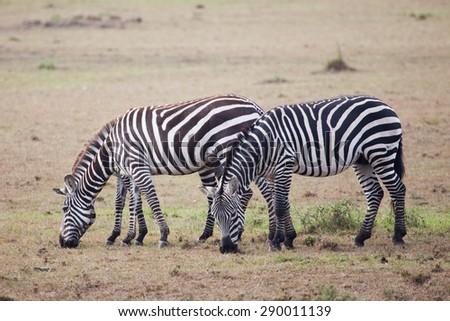 Three Zebras grazing in Masai Mara National Reserve, Kenya, Africa - stock photo