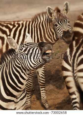 Three Zebras standing close together, one shows his teeth