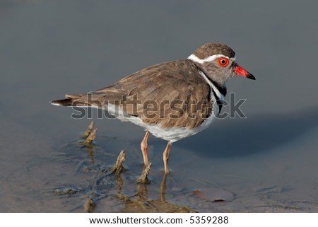 Threebanded plover (Charadrius tricollaris) standing in water, Kruger National Park, South Africa - stock photo