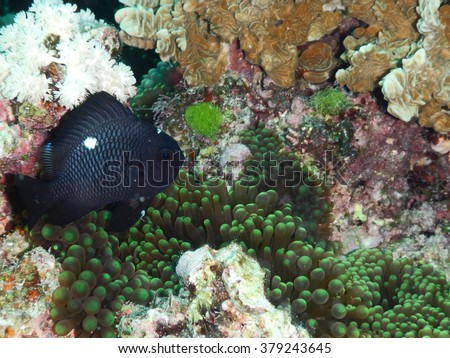 Threespot Damsel (Dascyllus trimaculatus) near their home in sea anemone
