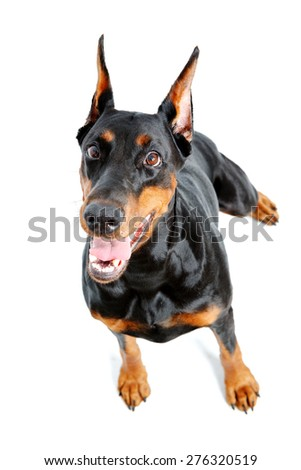Throw me it. Top view of extravagant and playful dobermann pinscher on isolated white background. - stock photo