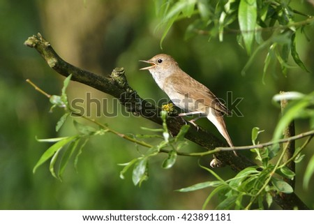 Thrush nightingale , Sprosser singing on a tree in the morning