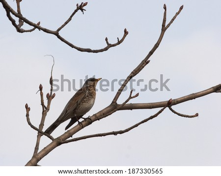 Thrush sitting on early spring branch