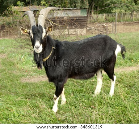 Thueringer Forest goat; German