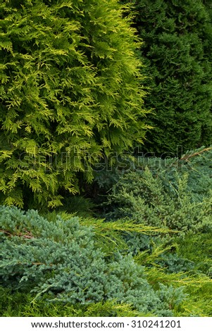 Thuja and conifer background.