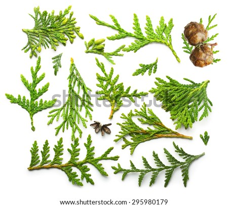 Thuja branch close up isolated on white background - stock photo