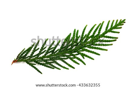 Thuja branch isolated on white background. Close-up view. - stock photo