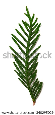 Thuja branch isolated on white background. Selective focus. - stock photo