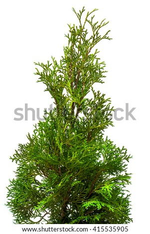 Thuja branches close-up isolated on white background