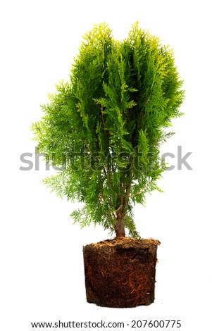 thuja Conifer Sapling Tree in the pot isolated on white, with roots - stock photo
