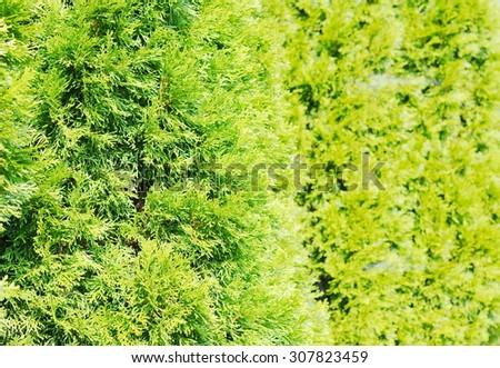 Thuja green natural background - stock photo