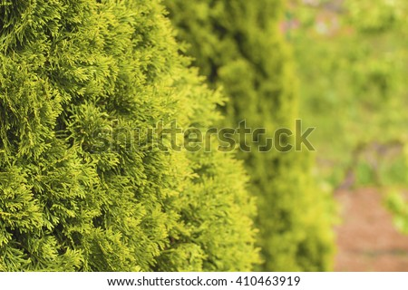 Thuja green natural background