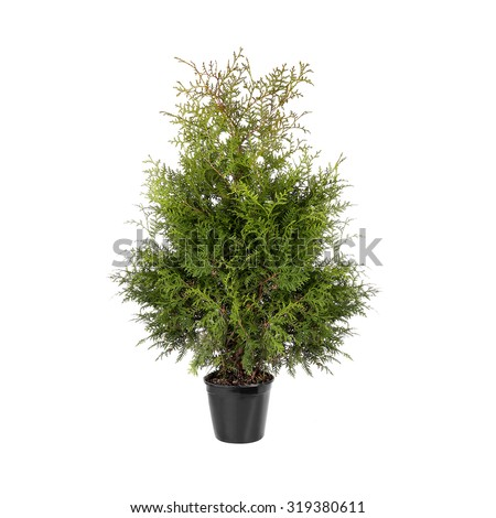 thuja in a pot isolated on a white background - stock photo