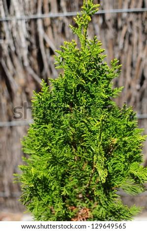Thuja occidentalis tree. Garden tree. - stock photo