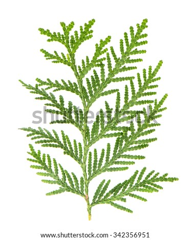 Thuja sprig isolated on white background. Evergreen tree - stock photo