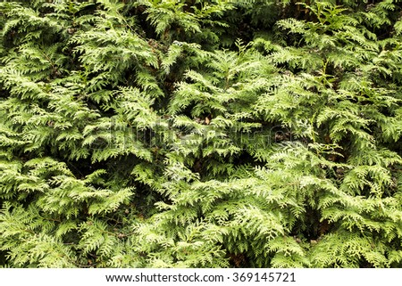 Thuja texture background