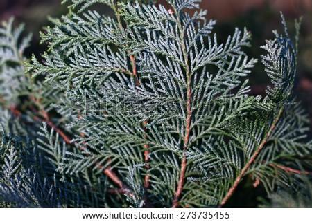 thuja twig - stock photo