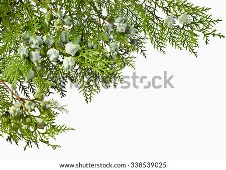 Thuja twig with fruit on a white background. Green Thuja twig withunripe fruit. - stock photo