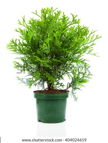 Thujopsis is a conifer in the cypress family Cupressaceae, isolated on white background - stock photo