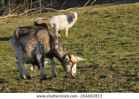 Thuringian forest goat - stock photo