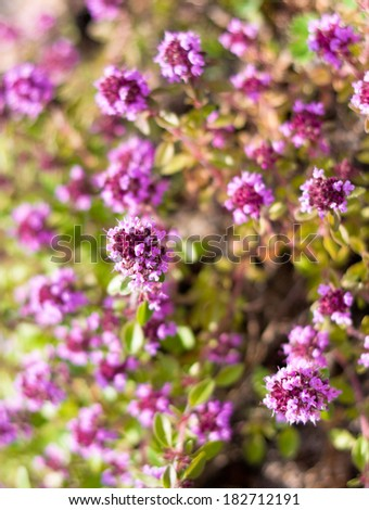 Thyme flowers - Thymus sp - stock photo