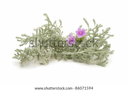 thyme herb of the field reflected on white background - stock photo
