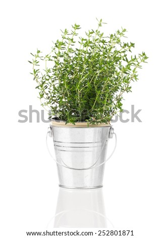 thyme herb plant growing in a distressed pewter pot, isolated over white background. - stock photo