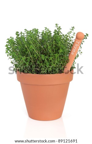 Thyme herb plant in a terracotta pot with name tag isolated over white background. Thymus.