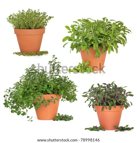 Thyme, oregano, purple and variegated sage herb growing in terracotta pots with leaf sprigs, isolated over white background. - stock photo