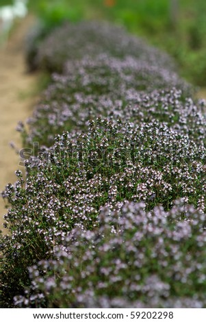 thyme plantation - stock photo