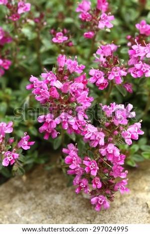 Thyme Thymus praecox - stock photo