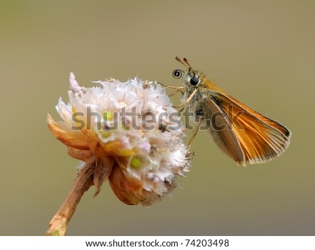 Thymelicus sylvestris / small skipper butterfly sitting on a pink flower on Thrift seapink (Armeria maritima) in the evening sun with a great background but just different