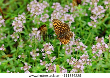 Thymus - healing herb and condiment growing in nature with butterfly - stock photo