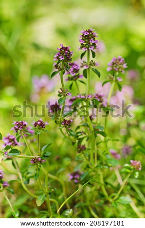 Thymus , thyme - healing herb and condiment growing in nature, natural floral background - stock photo