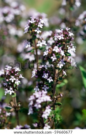 thymus vulgaris - stock photo