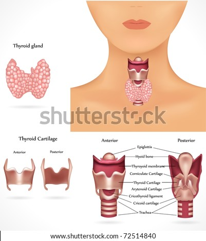 Thyroid gland, epiglottis, trachea. Detailed anatomy. - stock photo