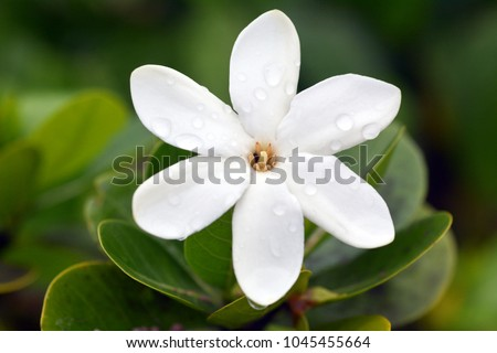 Tiare Maori, (Gardenia taitensis) grows in Rarotonga Island is the National Flower of the Cook Islands. Nature background. Copy space