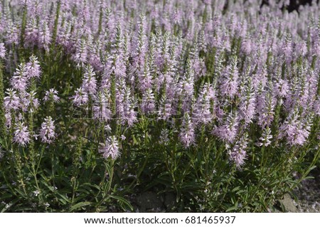 Tiarella ornamental perennial small pale pink stock photo edit now tiarella ornamental perennial with small pale pink flowers mightylinksfo