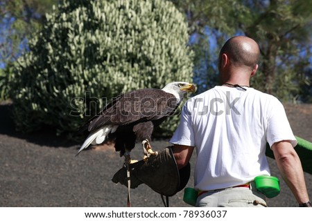 TIAS, SPAIN - DECEMBER 3 : An unidentified falconer trains a Bald Eagle outside while holding it on his arm on December 3, 2010 in Rancho Texas Park, Tias, Lanzarote, Spain.