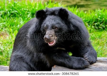Tibetan black bear. - stock photo