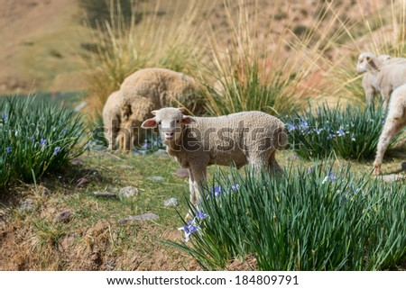 Tibetan landscape with grazing sheep and goats - stock photo