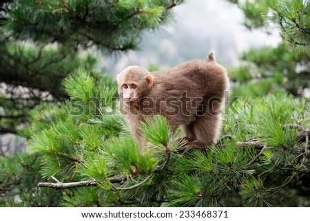 Tibetan Macaca monkey at the Huangshan Mount, China - stock photo