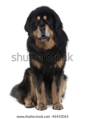 Tibetan mastiff dog, 4 years old, sitting in front of white background - stock photo