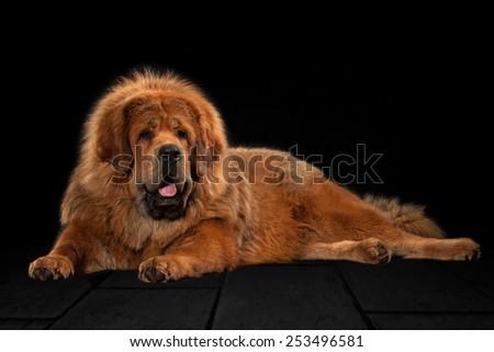 Tibetan mastiff on black background - stock photo