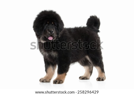 Tibetan mastiff puppy on white background - stock photo