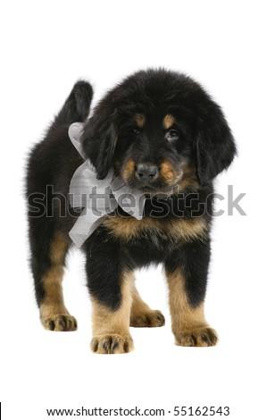 Tibetan Mastiff puppy on white background. - stock photo