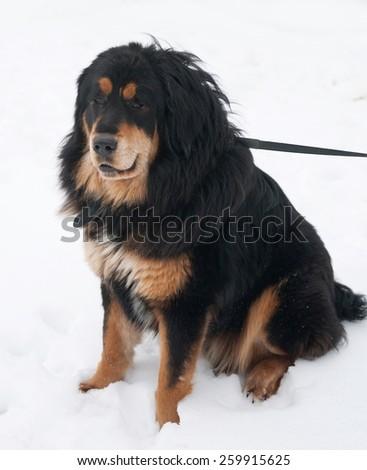 Tibetan Mastiff sitting on white snow - stock photo
