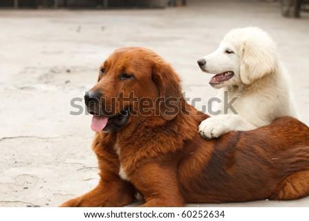 Tibetan mastiff, the dog of Tibet - stock photo