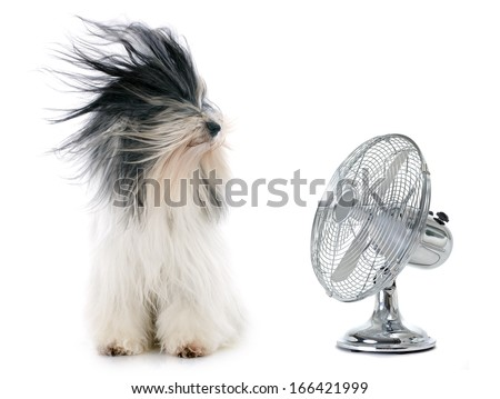 tibetan terrier and fan in front of white background - stock photo