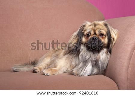 tibetan terrier lying down on a tibetan terrier portrait of